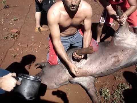 matando porco
