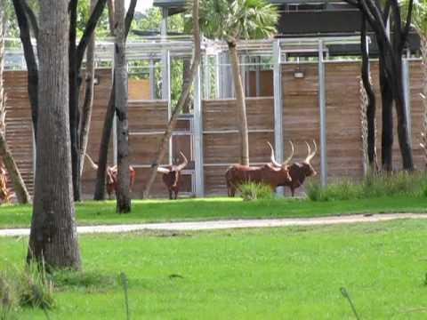 Ankole Cattle being Released..
