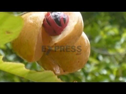 Fantastic oppertunities for Jaji kaya or Nutmeg farming in Andhra  Pradesh Coastal Zone - Express TV