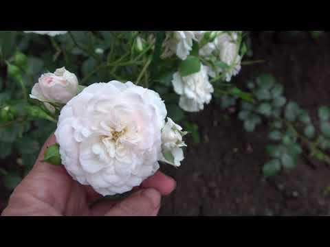 Не бойтесь пересаживать взрослые розы!!!