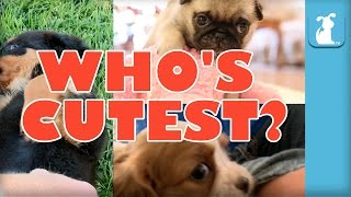 WHO'S CUTEST? YOU DECIDE! - Which Puppy Is Cutest? (Episode 3)