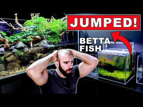 MY BETTA FISH JUMPED OUT! || FEEDING AN AMBUSH PREDATOR || MD FISH TANKS