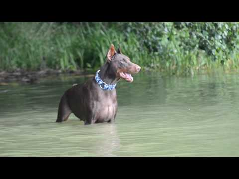 Doberman barking