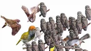 Suara pikat burung kecil yg susah mau turun