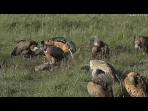 Safari Live : Brent has a busy morning in the Masai Mara on June 14, 2017