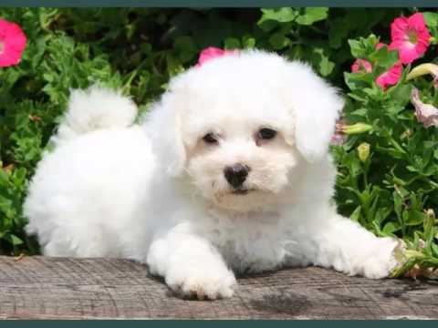 Bichon Frise Dogs | Set Of Bichon Frise Dog Breed Cute Picture Collection