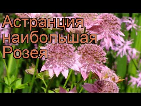 Астранция наибольшая Розея (astrantia rosea) 🌿 обзор: как сажать, рассада, саженцы астранции Розея