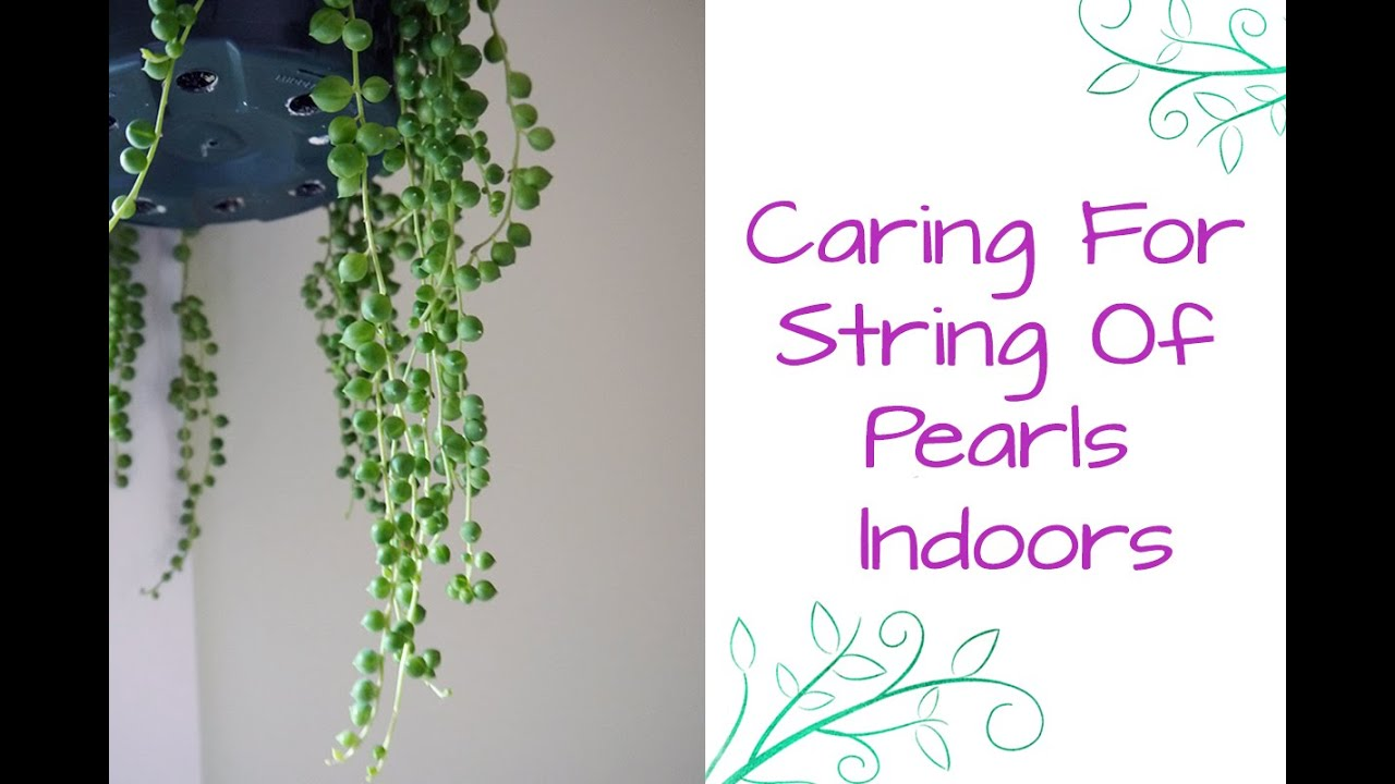 String of banana plant care - String Of Pearls This Fascinating Beauty Makes A Great Houseplant Youtube