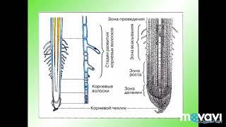 Зоны корня. Биология в стихах. 6 класс