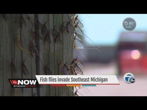 Fish Flies Invade Southeast Michigan