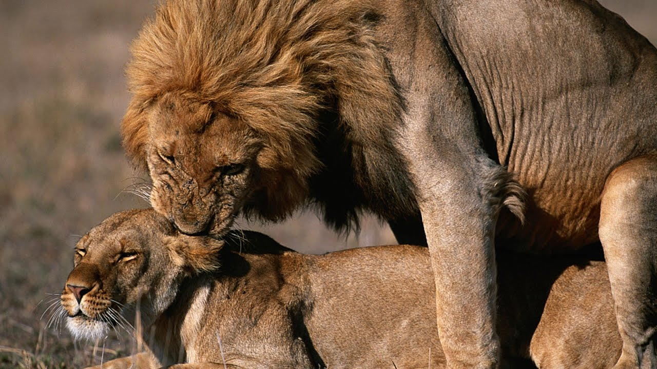 Download Male lion filmed mating with lioness