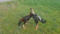 Combat de coq ko