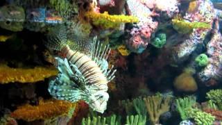 Крылатки и рыбы-камни (шанхайский океанариум, 2010)(, 2011-01-31T20:19:59.000Z)