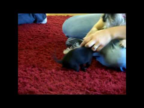 RNA MUSIC Vlog 5 Rock Dogs! Schnauzer vs Chihuahua pup