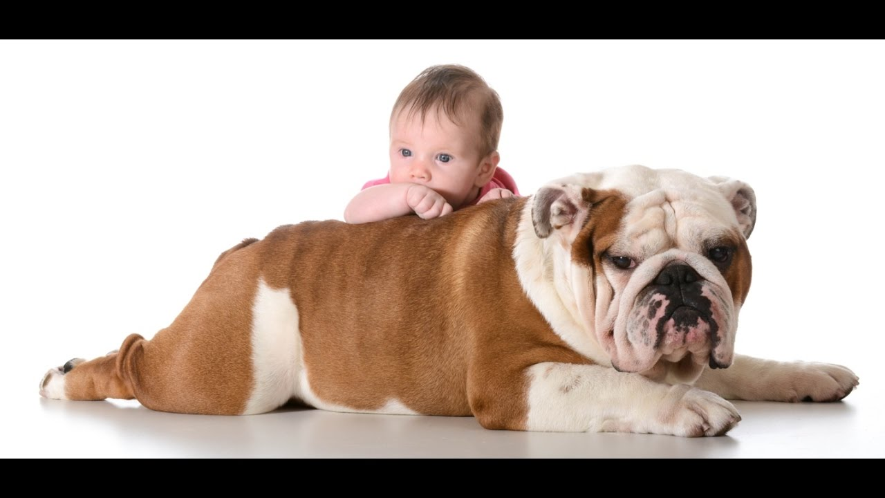 Funny English Bulldog And Baby Video