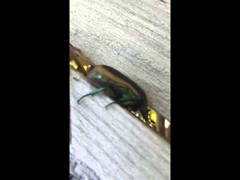 Japanese Beetle Too FAT to fit through my fence. Close up. Beautiful Insect