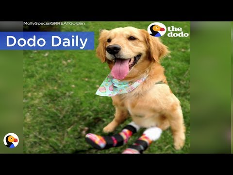 Paralyzed Dog Gets Boots To Help Her Run | Best Animal Videos: The Dodo Daily