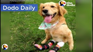 Paralyzed Dog Gets Boots To Help Her Run | Best Animal Videos: The Dodo Daily thumbnail