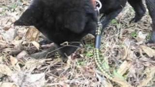 甲斐犬の陸が散歩でモグラを見つけた.