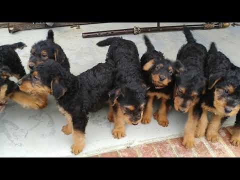 Early Morning Pack Walk With Airedale Terrier Puppy Puppies For Sale On December 30, 2018
