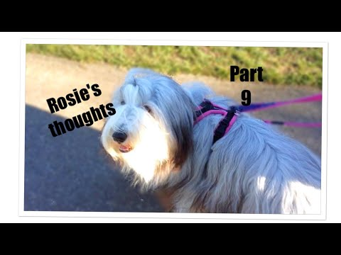Rosie's thoughts part 9!! (bearded collie)
