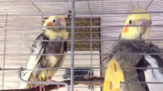 Кладка яиц у корелл. Самка попугая на разведении после перенесенной травмы. Уход за попугаями.