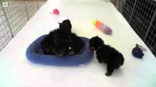 Star Yorkie Kennel - Playtime Tiny Teacup Yorkie Puppies