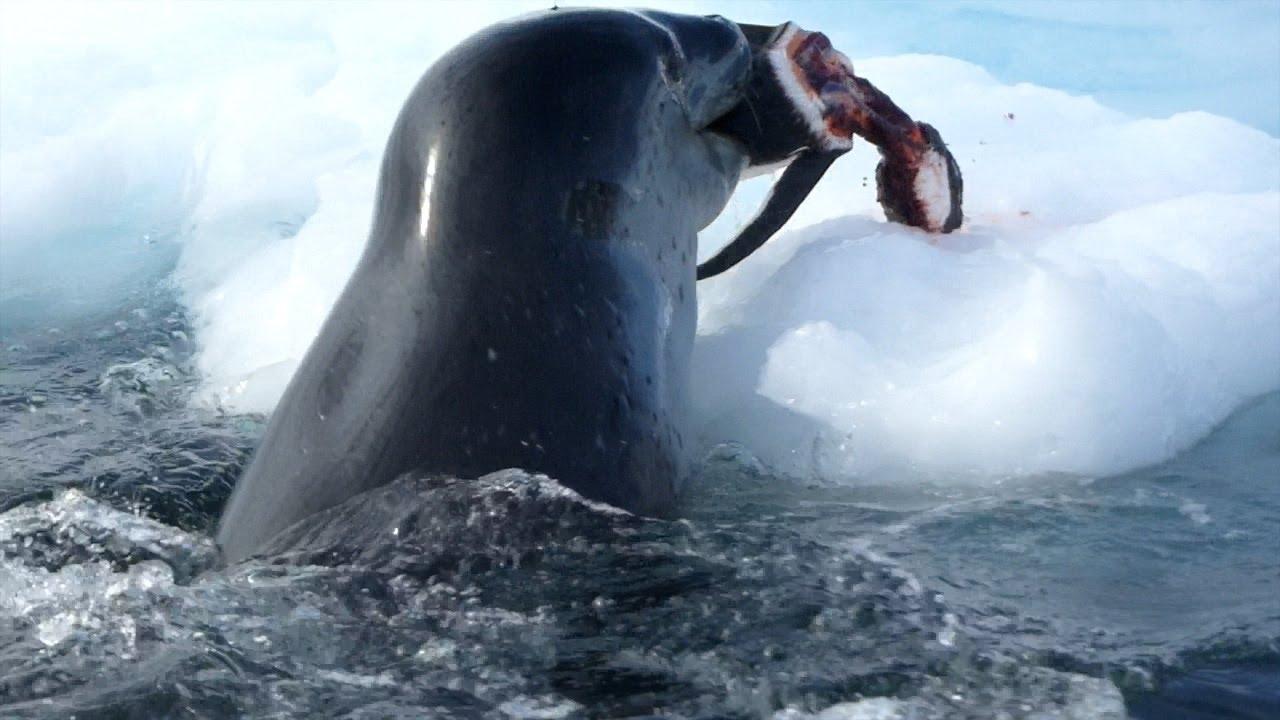 Killer Whale Attacks Penguin