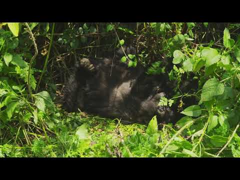 Edited Video Decor Sequence Of Various African Mountain Gorillas