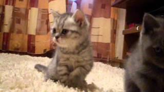 Котята в челябинске. Кот на вязку в Челябинске.wmv