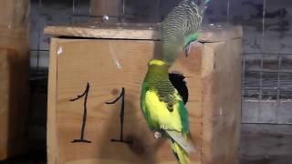 Разведение волнистых попугаев часть-2
