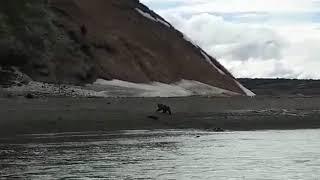 Нападение медведя на рыбака