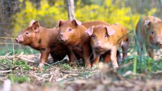 Training Piglets To An Electric Fence