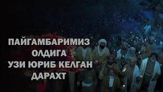ПАЙГАМБАРИМИЗ ОЛДИГА УЗИ ЮРИБ КЕЛГАН ДАРАХТ