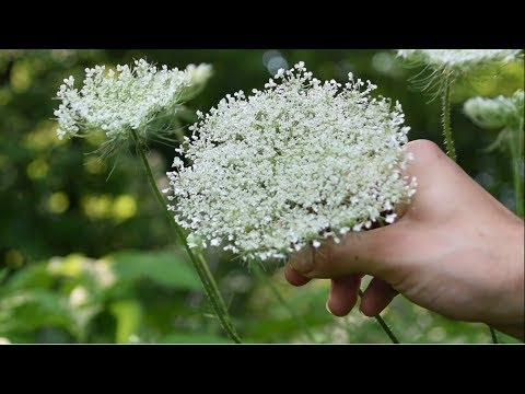 How To Identify Wild Carrot, Queen Anne's Lace - Wild Edibles