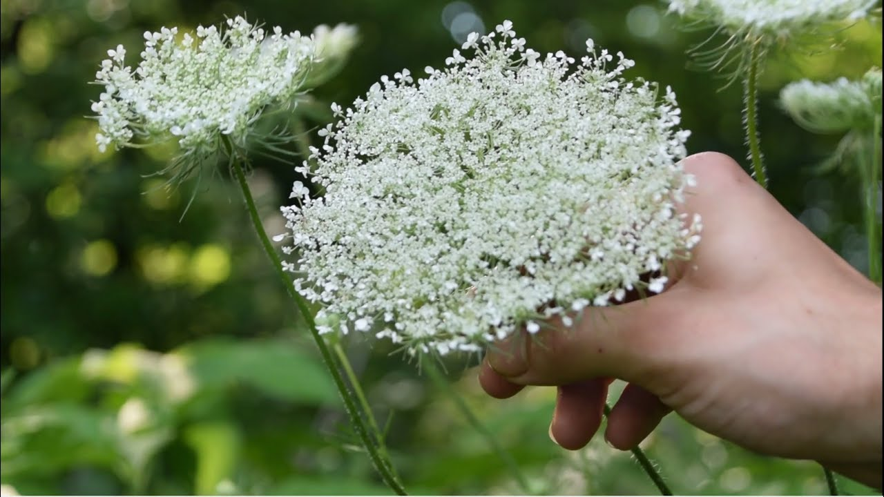 How To Identify Wild Carrot, Queen Anne's Lace - Wild Edibles ...