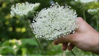 How To Identify Wild Carrot, Queen Anne