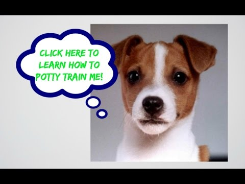 How To Potty Train A Jack Russell Terrier Puppy, House Training Jack Russell Terrier Puppies