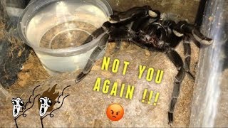 "WATERING my TARANTULAS  ""(Part 2)"" !!!"