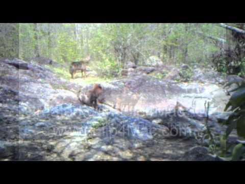 Asiatic jackals.mov
