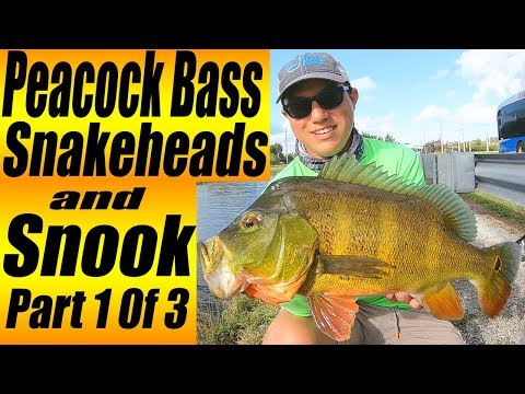 PEACOCK BASS SNAKEHEADS And SNOOK!!! (Broward County Canal Fishing Part 1)
