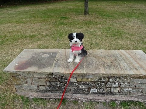 Millie - Tibetan Terrier Puppy - 3 Week Residential Dog Training at Adolescent Dogs