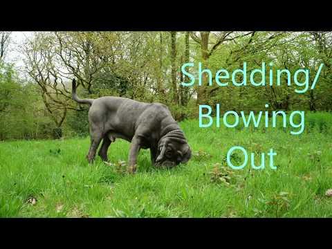 Neapolitan Mastiff Shedding/Blowing out