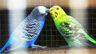 Suara Kicau Burung PARKIT GACOR Untuk Masteran Dan Pancingan PARKIT Juara