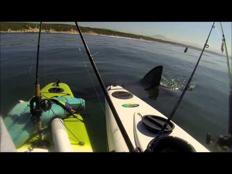 Great White Tests Kayak Anglers' Nerves - Jukin Media ...
