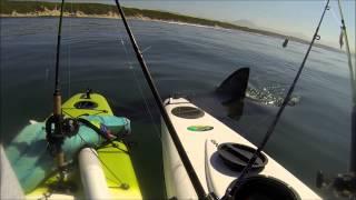 Great White Tests Kayak Anglers
