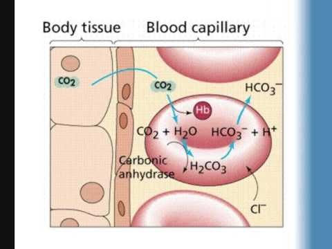 Transport Of Respiratory Gases Youtube