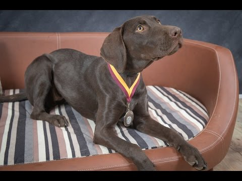 Kibo - Vizsla x Labrador Puppy - 3.5 Week Residential Dog Training