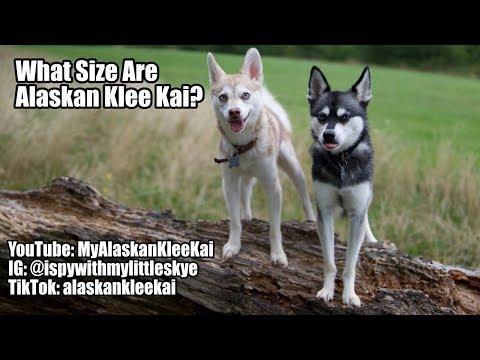 Alaskan Klee Kai size: How big are 'Mini Huskies'?