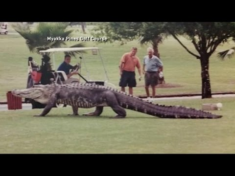 Huge Alligator Walks Florida Golf Course Youtube